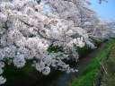 有栖川 桜