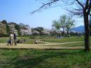 大沢池 桜
