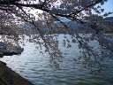 広沢池 桜