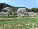 救世教 桜